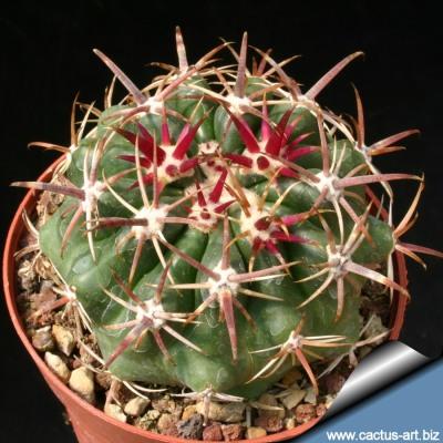 http://www.cactus-art.biz/schede/FEROCACTUS/Ferocactus_viridiscens/Ferocactus_viridiscens/Ferocactus_viridiscens.htm
